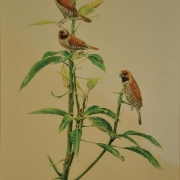 Scarly Breasted Munia, 1996 RM 4,480.00-SOLD | Watercolour on paper | 48 x 32 cm